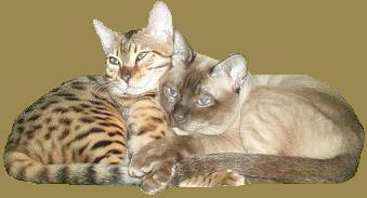 Azymut Hodowla Kotów Tonkijskich I Bengalskich